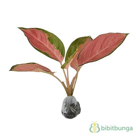 Tanaman Aglaonema Heng Heng Aglonema Hengheng tanaman aglaonema kochin bibitbunga