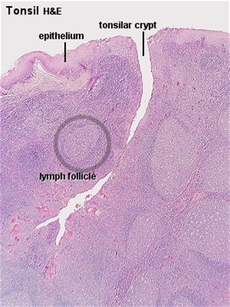 sketch book lumen blue histology lymphoid tissues ii