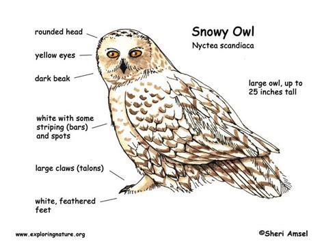 snowy owl diagram outdoor science school activities