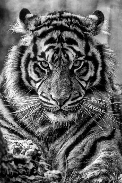 wallpaper iphone tiger tiger iphone hd wallpaper