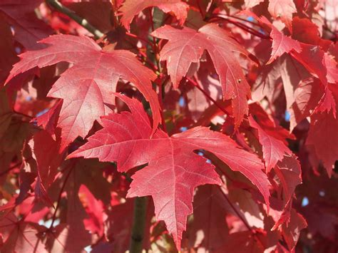 red maple tree leaves maple tree with vibrant red leaves flickr