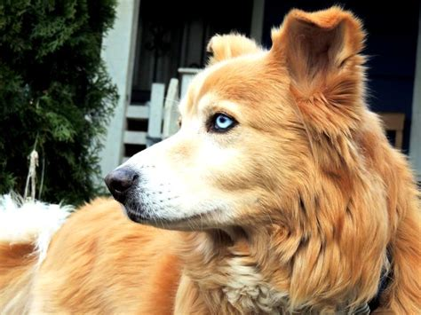 husky golden retriever puppies siberian husky mixed with golden retriever photo happy