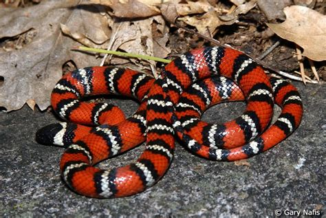 snake pattern red black yellow beautiful butterfly a snake skin texture and unique
