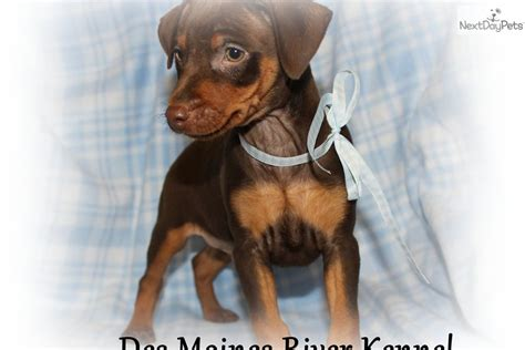 chocolate miniature pinscher puppies for sale meet rocky a miniature pinscher puppy for sale for 250 chocolate rocky