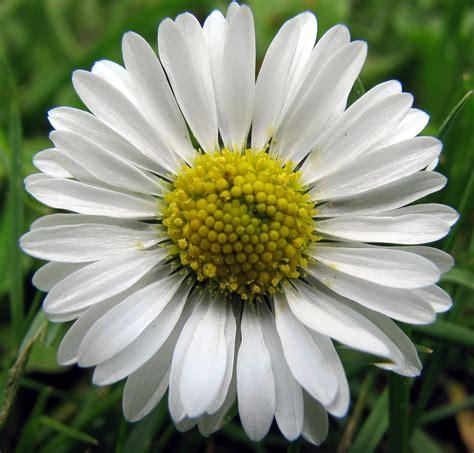 daisy flower daisy flowers