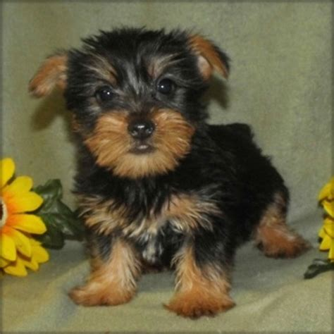 yorkie puppies for adoption in pa dogs bethlehem pa free classified ads