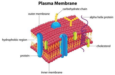 membrane diagram functions of the plasma membrane