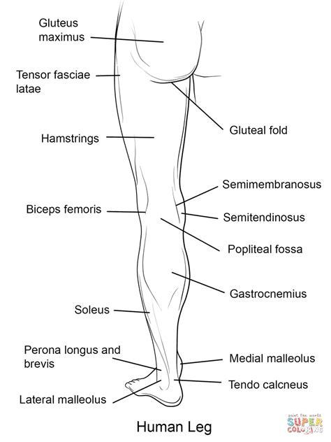 Human Leg Back View coloring page   Free Printable