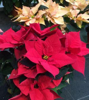 Weihnachtsstern Pflegen by Weihnachtssterne Richtig Pflegen Garten