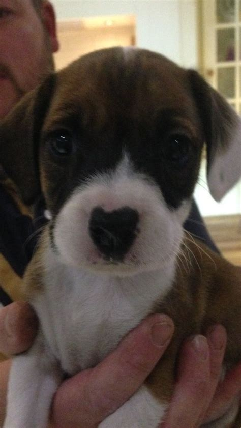 beagle boxer mix puppies for sale beautiful boxer x beagle puppies for sale stoke on trent staffordshire pets4homes