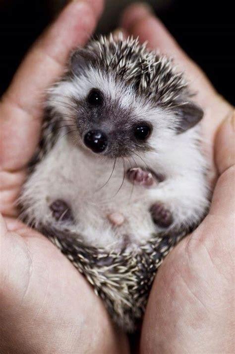Hutch Salt Mine 20 Adorable Pics To Celebrate Hedgehog Day Bored Panda