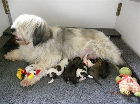 lowland sheepdog puppies for sale bratsiostra lowland sheepdog lowland sheepdog breeder v 229 rg 229 rda sweden
