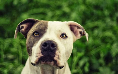 iphone wallpapers hd with dogs dog pictures for iphone pit bull dogs wallpapers pitbull dog wallpaper hd