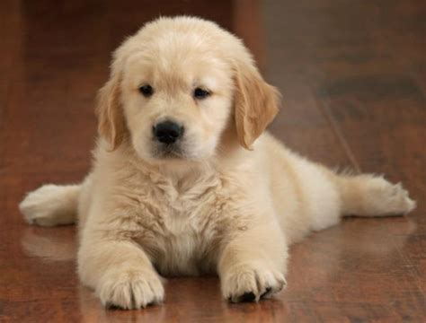 golden retriever legs give out imagenes cachorritos imagui