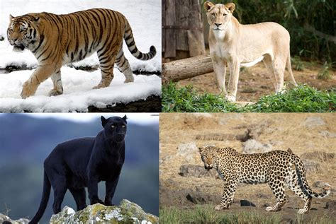 big cat mod the sims 4 different big cats