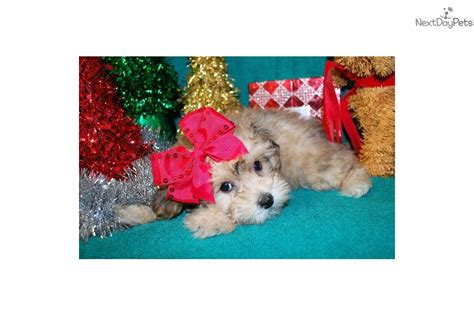 yorkie puppies for sale mobile al gretel yorkiepoo yorkie poo puppy for sale near mobile alabama 7677df83 72a1