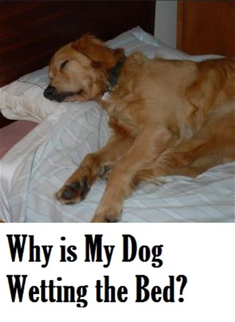 why do dogs pee on the bed why does my dog urinate while sleeping dog discoveries