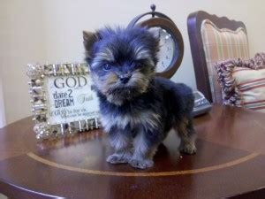 teacup yorkies for sale in md dogs maryland free classified ads
