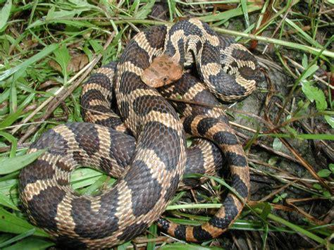 Garter Snake Vs Copperhead Snakes Mistaken For Copperheads Snakes Elaphe Gloydi