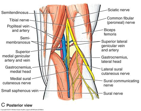 human knee diagram knee anatomy posterior human anatomy diagram