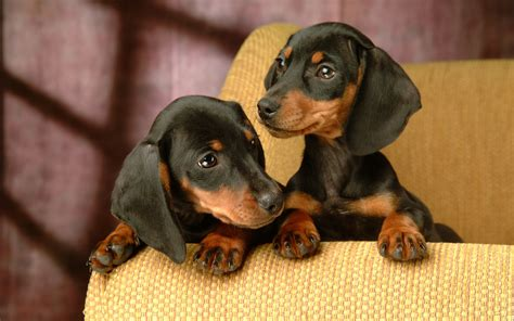 wiener puppies dachshund pictures facts history and more