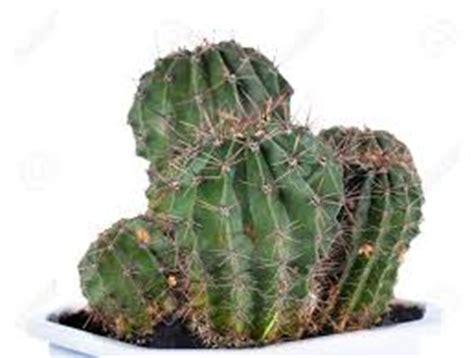 pembibitan tanaman hias kaktus tanaman bunga hias