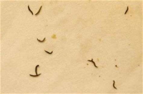 Hair In Bathtub Drain Brown Worms In Pond Are Likely Midge Fly Larvae All