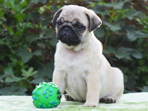 lena the pug lena pug puppy for sale puppy