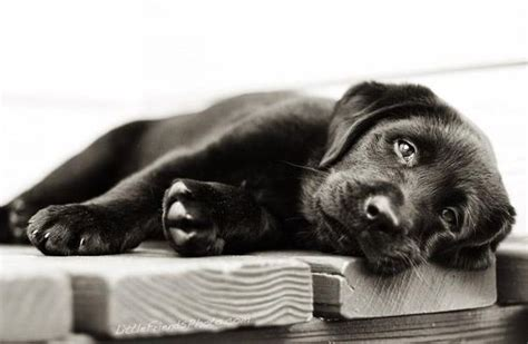 10 week lab puppy a 10 week black lab puppy lounging around photo by littlefriendsphoto it s