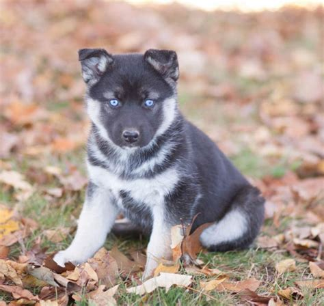 siberian husky puppies for sale in iowa german shepherd husky puppies craigspets