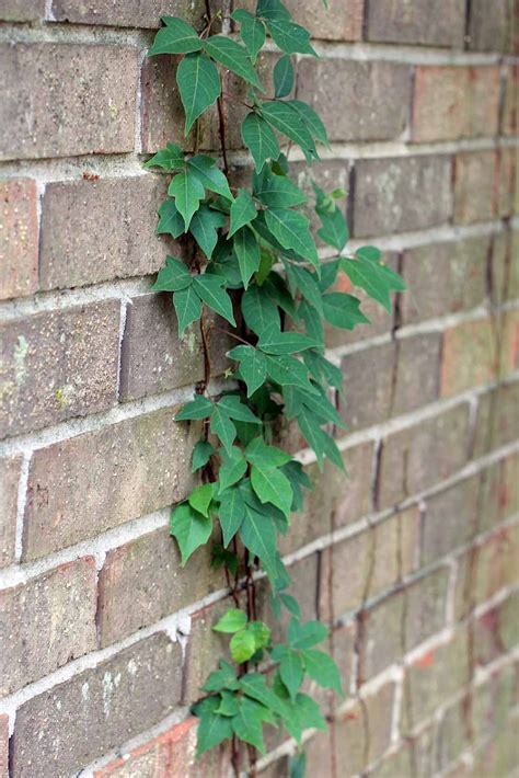 climbing vines indoors tips for growing common indoor top 28 vine growing plants growing grapes is as close