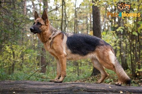 german shepherd facts german shepherd dogs interesting facts and information and fur