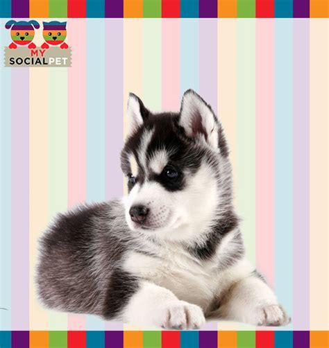 alimentazione siberian husky siberian husky razza origine carattere cure foto
