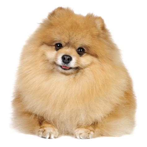 pomeranian to buy pomeranian mix breeds picture