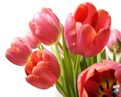 fiore tulipani image gallery tulipani