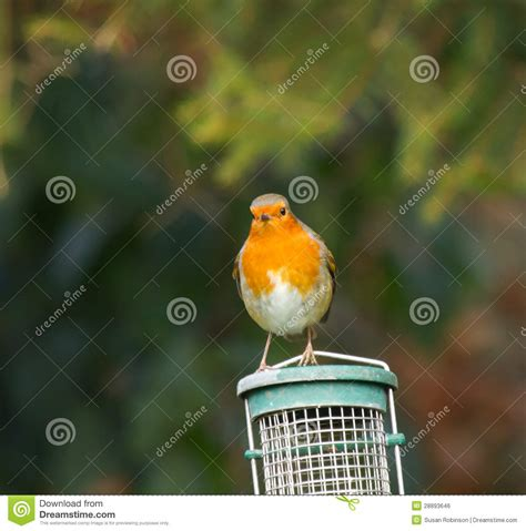 robin on feeder royalty free stock image image 28893646