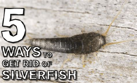 how to get rid of silverfish 5 ways to get rid of