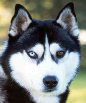black siberian huskies colors of the siberian husky