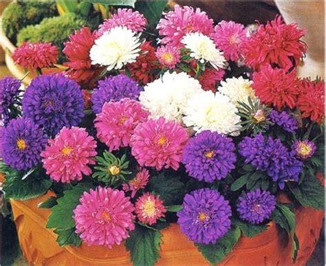 Bibit Bunga Aster Single Mixed China Flower Mix Colour aster rainbow mix china aster seeds f201 ebay