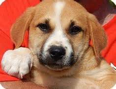 golden retriever puppies temecula adoptable golden retrievers on golden retriever mix golden retrievers and