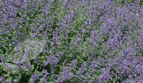 buy catnip plant uk 28 images nepeta racemosa