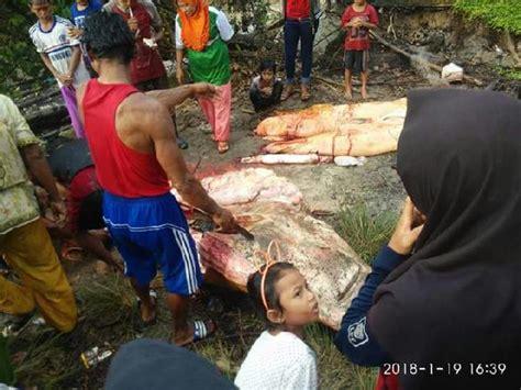 Gigi Ikan Hiu Gergaji ikan hiu gergaji terjerat jaring warga kung balak