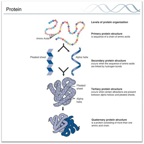 4 protein structure and function a level biology revision