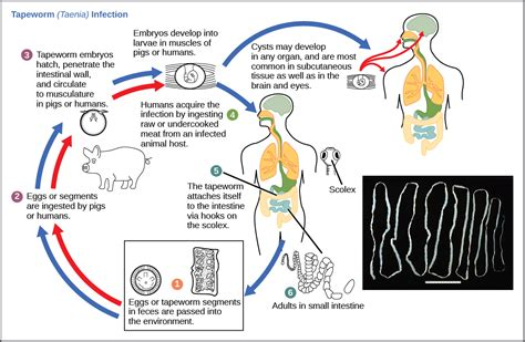 this diagram of the human cycle shows that community ecology biology ii