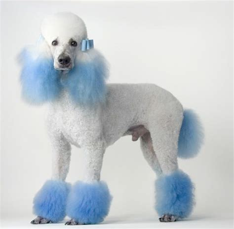 different poodle haircuts 122 best poodle cuts clips styles images on pinterest