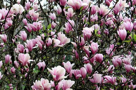 crofton s flowering trees in pictures what are they