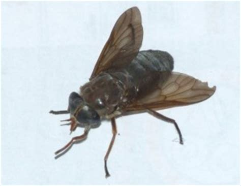horse flies in my house horse fly but what species what s that bug