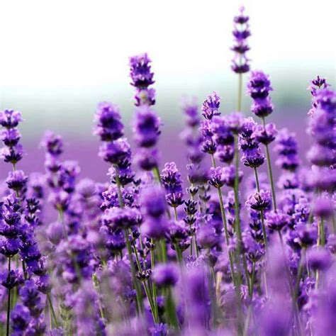 where to buy lavender essential oil in singapore