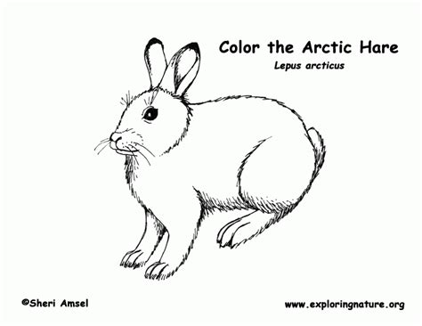 coloring pages arctic animals arctic coloring page coloring home