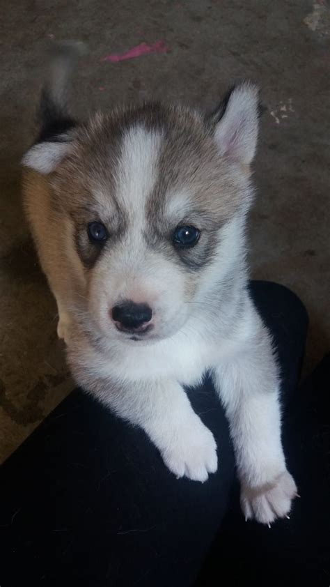 husky dogs for sale husky puppies for sale blackburn lancashire pets4homes
